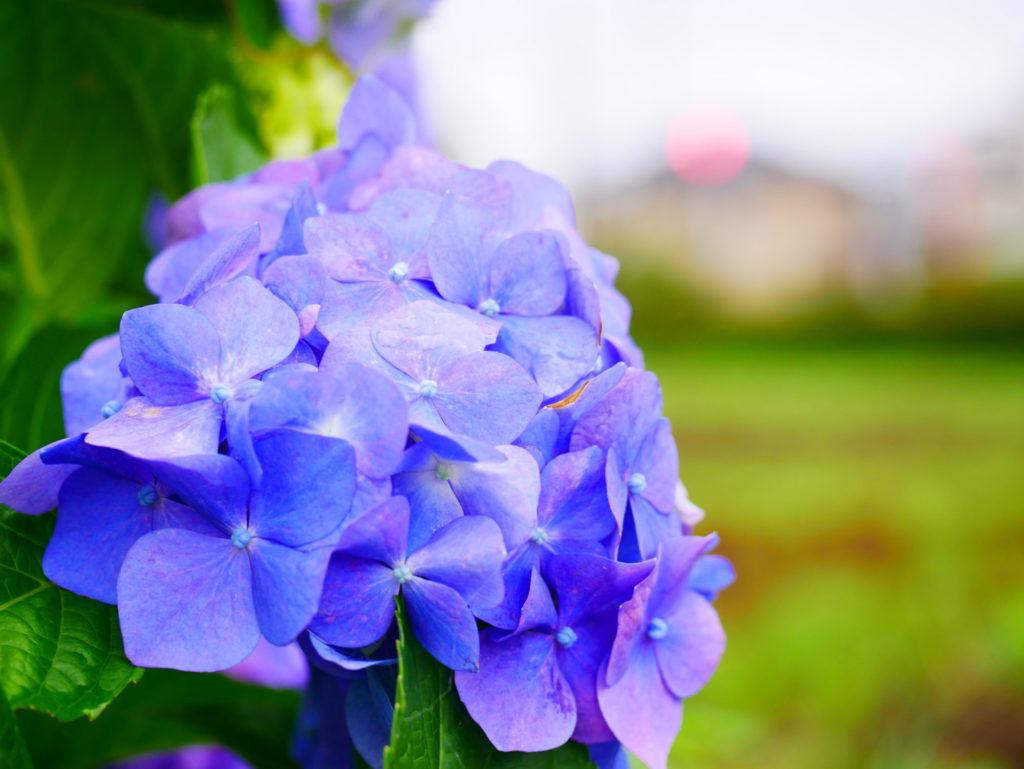 高半紫陽花